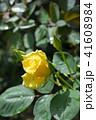 植物 花 バラの写真 41608984