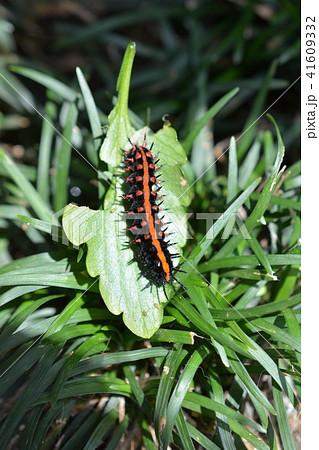 黒に赤、毛虫、パンジーの葉についていたツマグロヒョウモンの幼虫 41609332