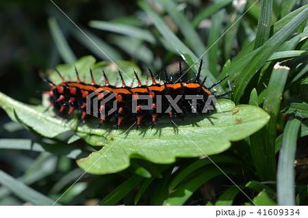 黒に赤、毛虫、パンジーの葉についていたツマグロヒョウモンの幼虫 41609334