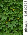 ゴーヤ 花 苦瓜の写真 41610295