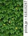 ゴーヤ 花 苦瓜の写真 41610297