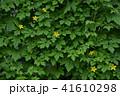 ゴーヤ 花 苦瓜の写真 41610298