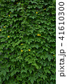 ゴーヤ 花 苦瓜の写真 41610300