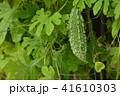 ゴーヤ 苦瓜 ゴーヤーの写真 41610303