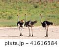 だちょう ダチョウ アフリカの写真 41616384