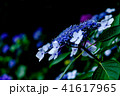 紫陽花 花 植物の写真 41617965