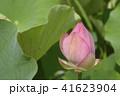 大賀蓮 古代蓮 蓮の写真 41623904