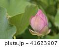 大賀蓮 古代蓮 蓮の写真 41623907