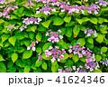 花 アジサイ ガクアジサイの写真 41624346