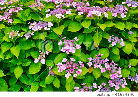 紫色のガクアジサイ 41624346