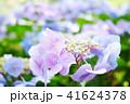 花 アジサイ ガクアジサイの写真 41624378