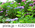 紫陽花 41625589