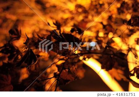 群馬県桜山公園のイルミネーション冬桜、満月 41631751