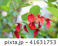 花 アメリカデイゴ 赤色の写真 41631753