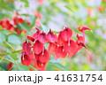 花 アメリカデイゴ 赤色の写真 41631754