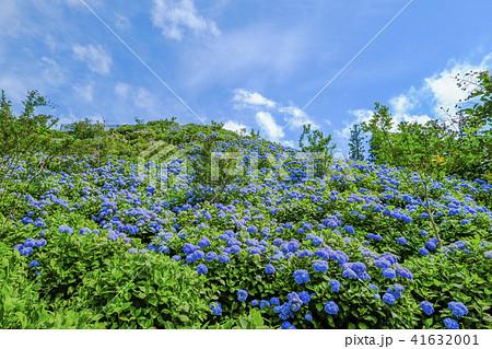 青い紫陽花の丘 41632001