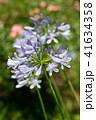 花 アガパンサス 植物の写真 41634358