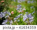 花 アガパンサス 植物の写真 41634359