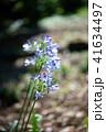 花 アガパンサス 植物の写真 41634497