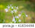 花 アガパンサス 植物の写真 41634498