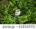花 エキナセア 白の写真 41634555