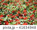 花 赤 ジニアの写真 41634948