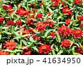 花 赤 ジニアの写真 41634950