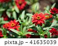 花 赤 ジニアの写真 41635039