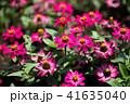 花 ピンク ジニアの写真 41635040