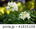花 アガパンサス 白の写真 41635108