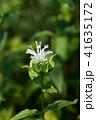 ベルガモット ハーブ 花の写真 41635172