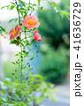 ノウゼンカズラ 花 植物の写真 41636729