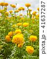 マリーゴールド キンセンカ 金盞花の写真 41637287