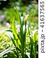 白 花 カラーの写真 41637565