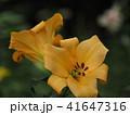 ユリ ユリ科 花の写真 41647316