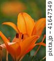 ユリ ユリ科 花の写真 41647349