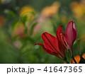 ユリ ユリ科 花の写真 41647365