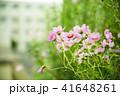 コスモス ピンク 花の写真 41648261