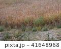 ススキ畑 41648968