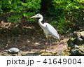 アオサギ 亀 サギの写真 41649004