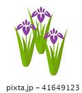 菖蒲 花 植物のイラスト 41649123