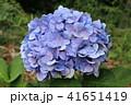 アジサイ 花 植物の写真 41651419