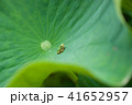 ハスの葉にアマガエル 41652957