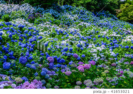 舞鶴自然文化園 紫陽花 41653021