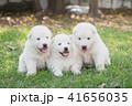 動物 わんこ 犬の写真 41656035