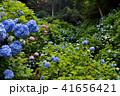 大窪寺前あじさい園(香川県さぬき市多和)5 41656421