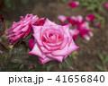バラ 花 植物の写真 41656840