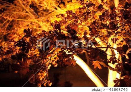 群馬県桜山公園の夜のライトアップ、冬桜のイルミネーションと満月 41663746
