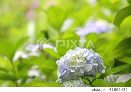 淡い色のアジサイの花  梅雨イメージ 41665452