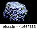 紫陽花 41667833